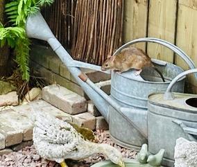 Rattenoverlast in Palenstein